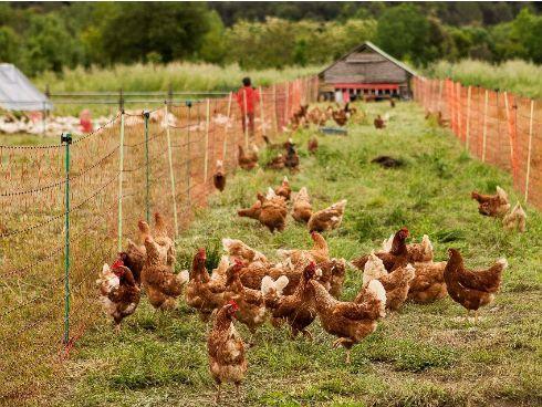 Agricultura regenerativa: animales de pastoreo y carne de calidad